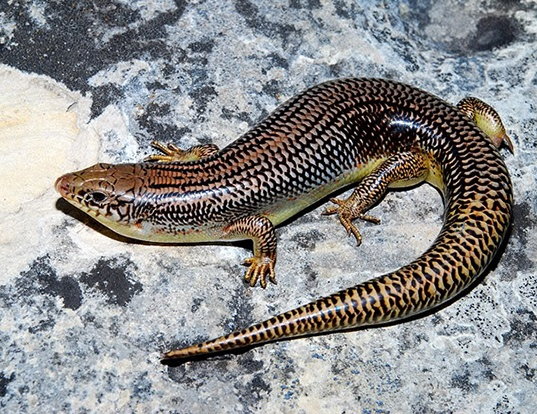 Picture of a great plains skink (Plestiodon obsoletus)