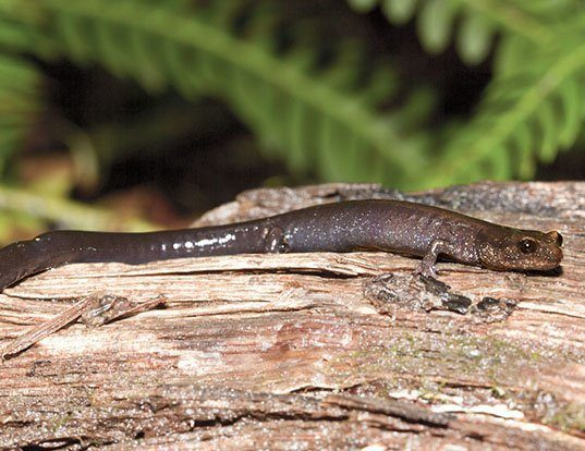 Picture of a del norte salamander (Plethodon elongatus)
