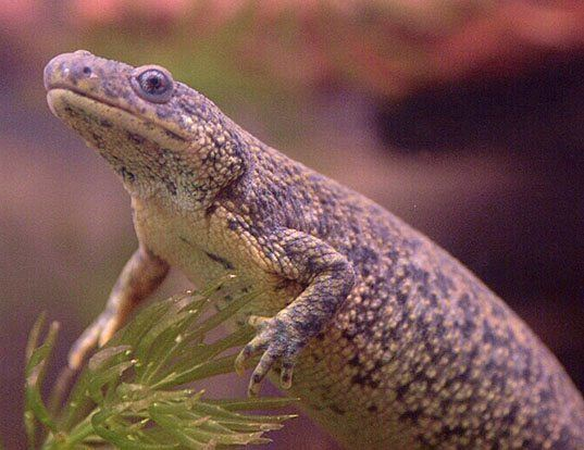 Picture of a edough ribbed newt (Pleurodeles poireti)