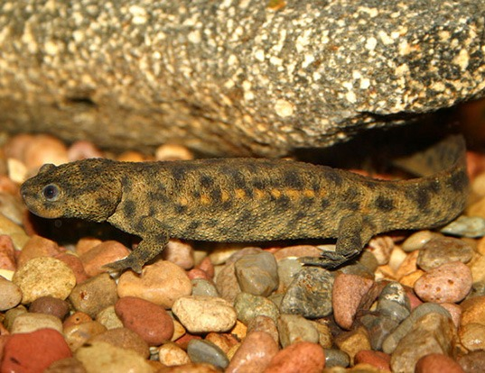 Picture of a spanish ribbed newt (Pleurodeles walti)