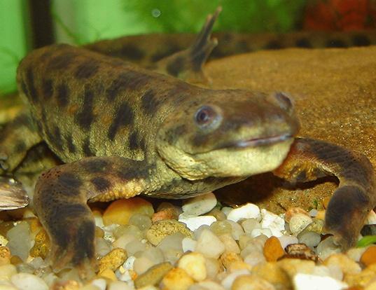 Picture of a sharp-ribbed salamander (Pleurodeles waltl)