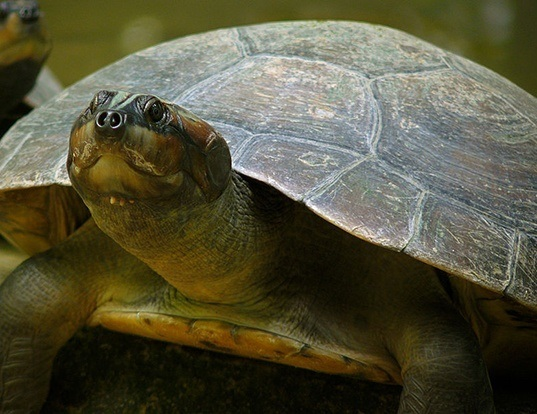 Picture of a south american river turtle (Podocnemis expansa)