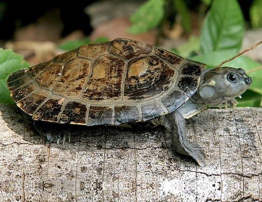 Picture of a six-tubercled river turtle (Podocnemis sextuberculata)