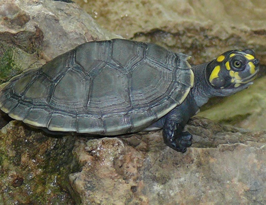 Picture of a yellow-spotted river turtle (Podocnemis unifilis)