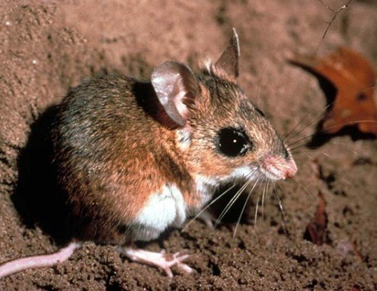 Picture of a florida deermouse (Podomys floridanus)