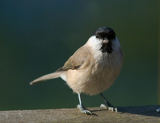 Picture of a marsh tit (Poecile palustris)