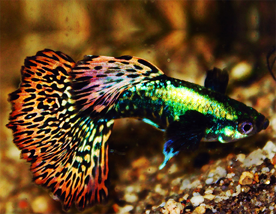 Picture of a guppy (Poecilia reticulata)