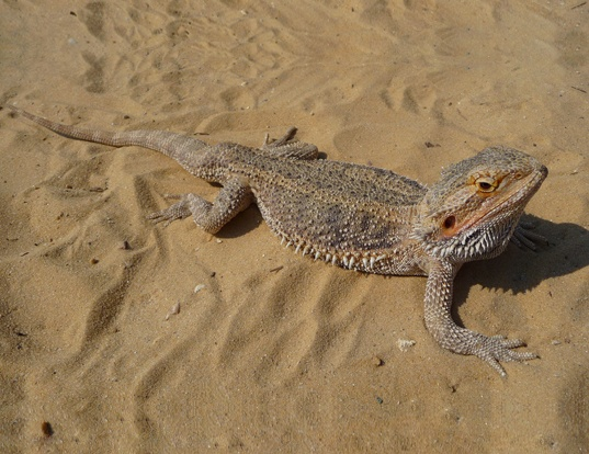 Picture of a central bearded dragon (Pogona vitticeps)