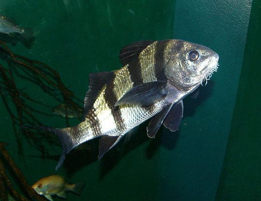 Agree, striped drum fish