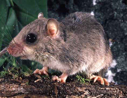 Picture of a chestnut tree mouse (Pogonomys macrourus)