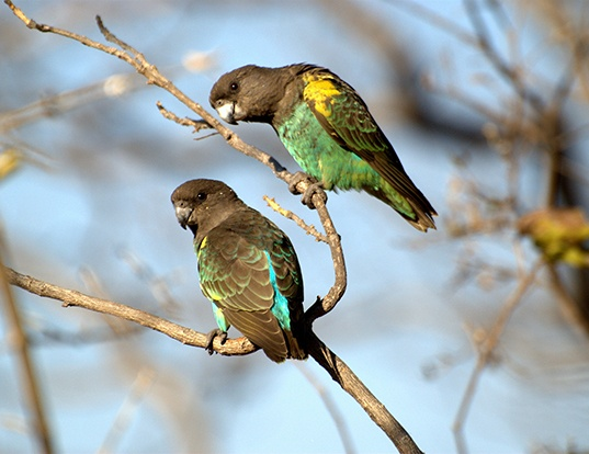 Picture of a brown parrot (Poicephalus meyeri)