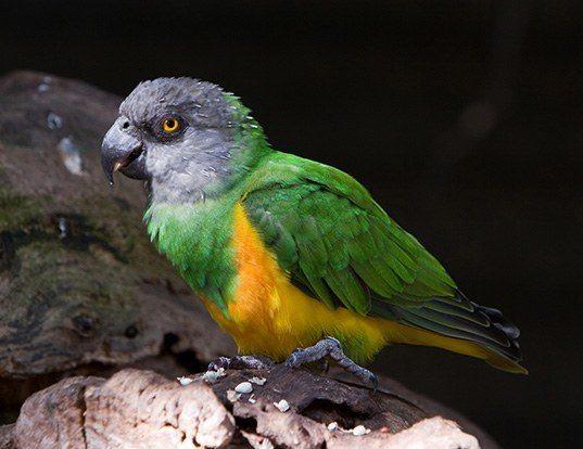 Picture of a senegal parrot (Poicephalus senegalus)