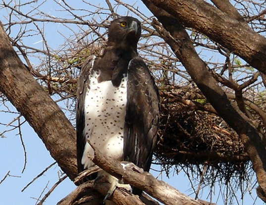 Picture of a martial eagle (Polemaetus bellicosus)
