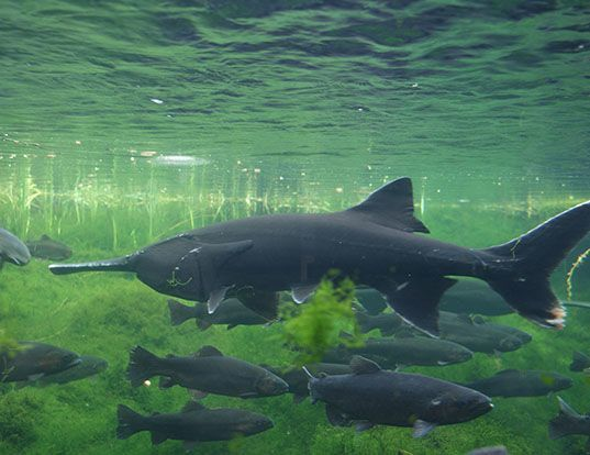 Picture of a paddlefish (Polyodon spathula)