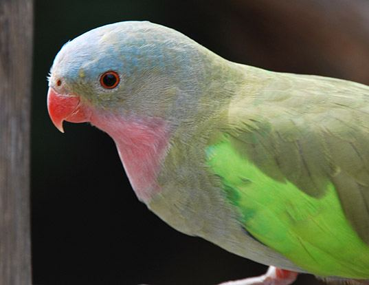 Picture of a princess parrot (Polytelis alexandrae)