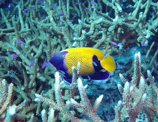 Picture of a bluegirdled angelfish (Pomacanthus navarchus)