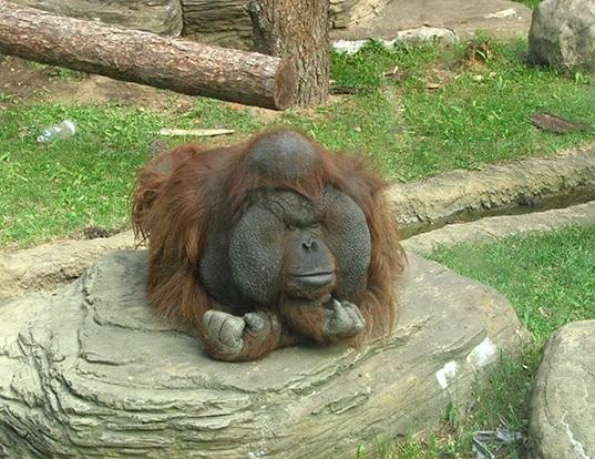 Picture of a bornean orangutan (Pongo pygmaeus)
