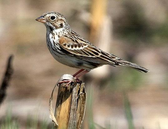 Picture of a vesper sparrow (Pooecetes gramineus)