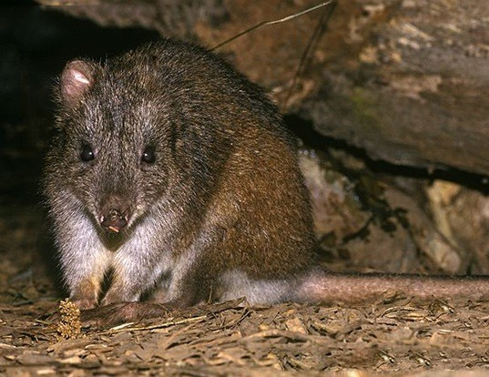 Picture of a long-footed potoroo (Potorous longipes)