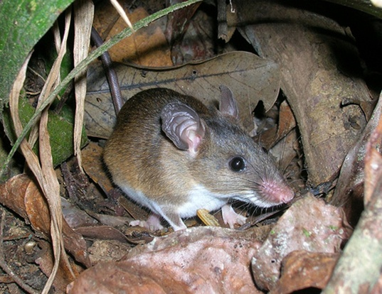 Picture of a tullberg's soft-furred mouse (Praomys tullbergi)