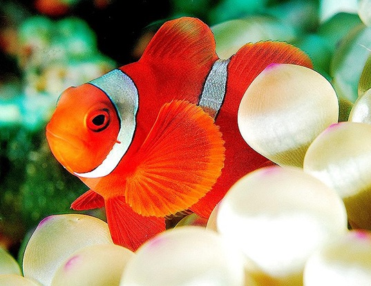 Picture of a spine-cheek anemonefish (Premnas biaculeatus)