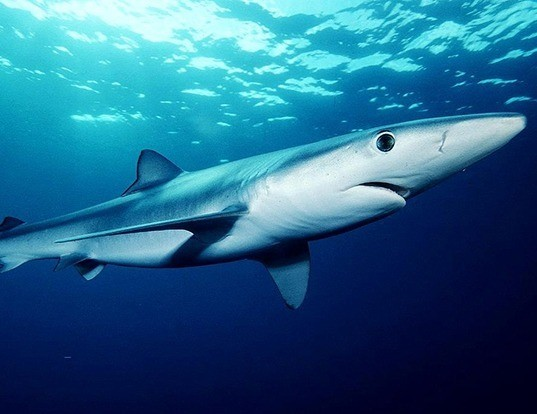 Picture of a blue shark (Prionace glauca)
