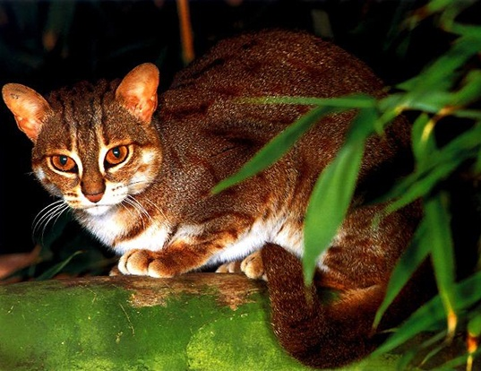 Picture of a rusty-spotted cat (Prionailurus rubiginosus)