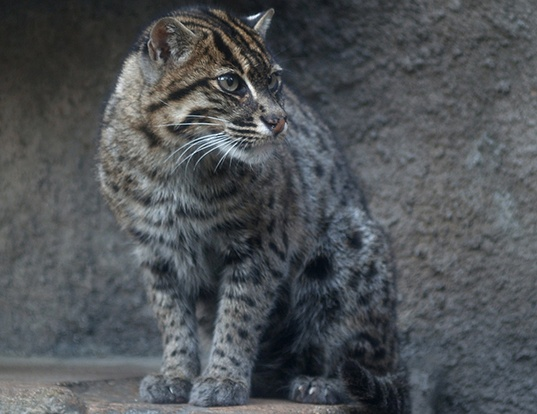Picture of a fishing cat (Prionailurus viverrinus)