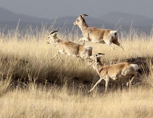 Picture of a przewalski's gazelle (Procapra przewalskii)