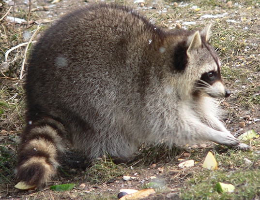 Picture of a crab-eating raccoon (Procyon cancrivorus)