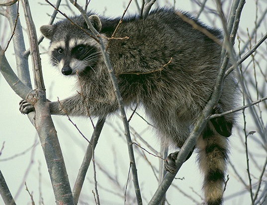 Picture of a northern raccoon (Procyon lotor)