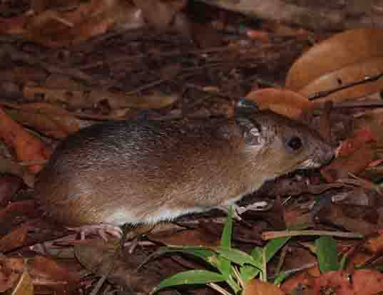 Picture of a spiny rat (Proechimys guyannensis)