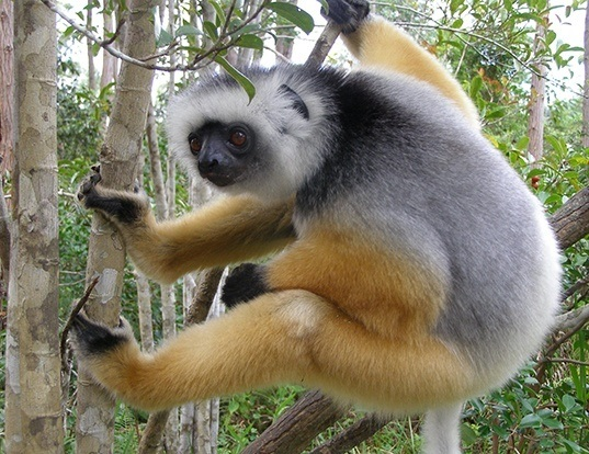 Picture of a diademed sifaka (Propithecus diadema)