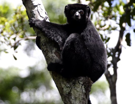 Picture of a perrier's sifaka (Propithecus perrieri)