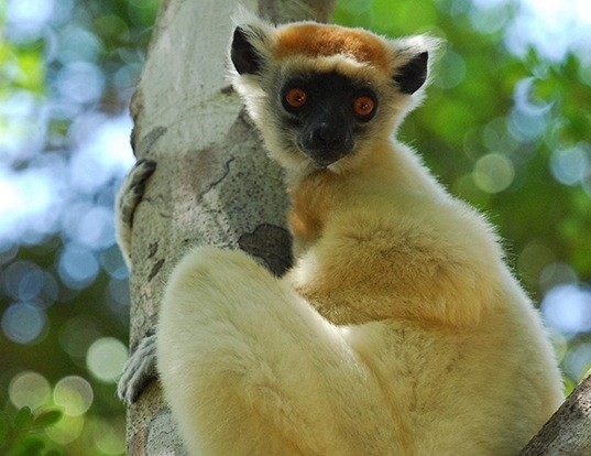 Picture of a golden-crowned sifaka (Propithecus tattersalli)