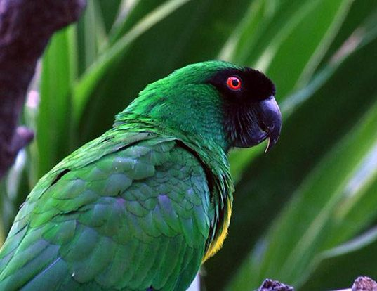 Picture of a masked shining parrot (Prosopeia personata)