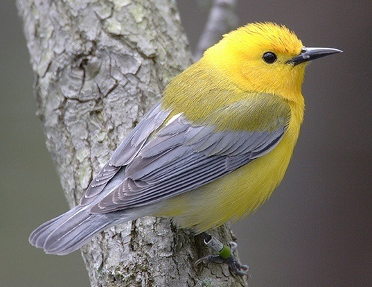 Picture of a prothonotary warbler (Protonotaria citrea)