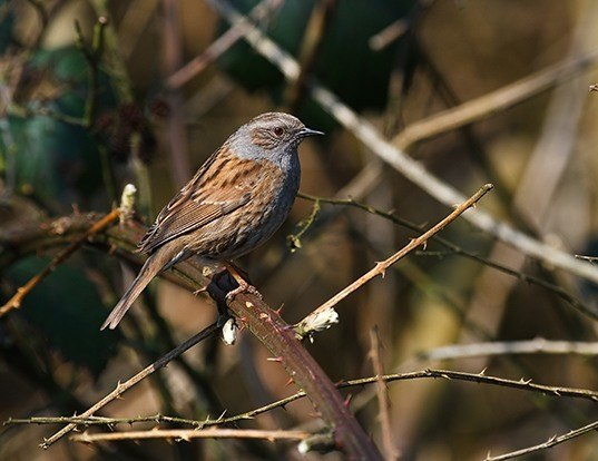 Picture of a hedge accentor (Prunella modularis)