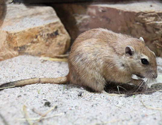 Picture of a fat sand rat (Psammomys obesus)