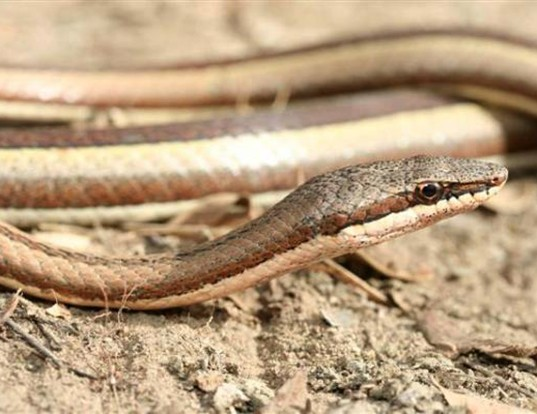 Picture of a west african slender snake (Psammophis elegans)