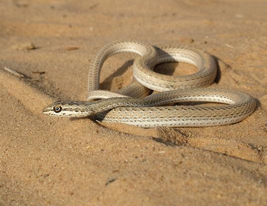 Picture of a schokari snake (Psammophis schokari)