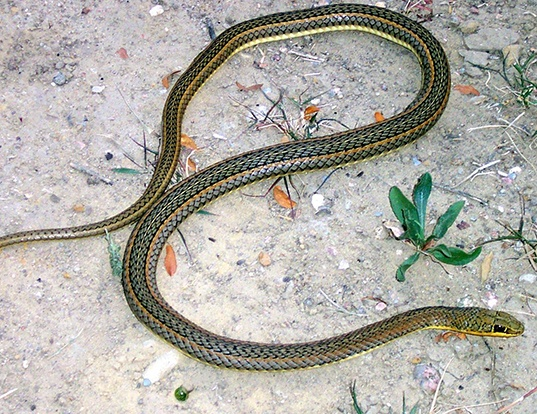 Picture of a african hissing snake (Psammophis sibilans)