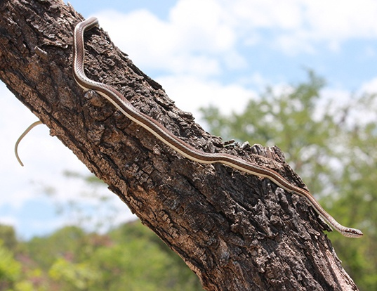 Picture of a stripe-bellied sand snake (Psammophis subtaeniatus)