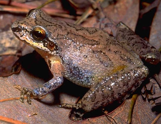 Picture of a mountain chorus frog (Pseudacris brachyphona)