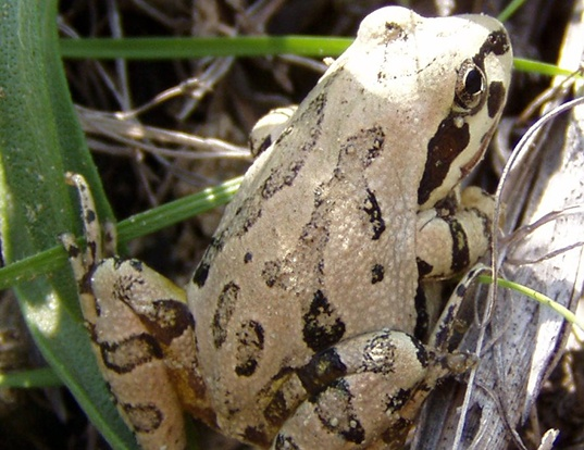Picture of a strecker's chorus frog (Pseudacris streckeri)