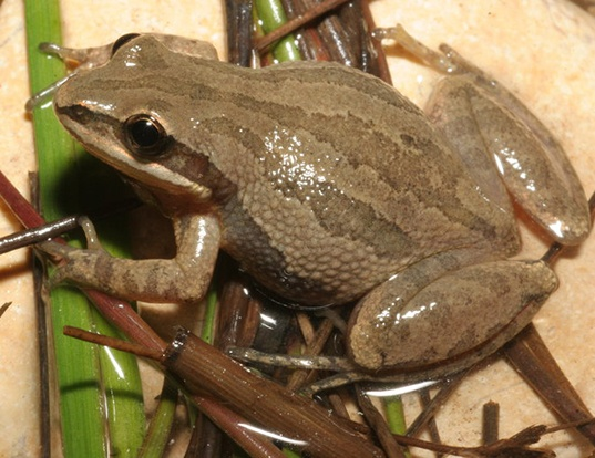 Picture of a western chorus frog (Pseudacris triseriata)