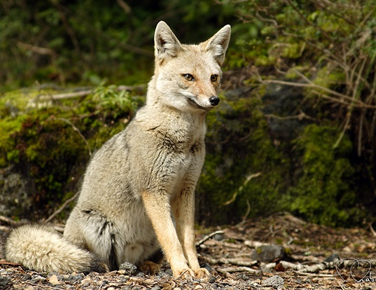 Picture of a south american gray fox (Pseudalopex griseus)