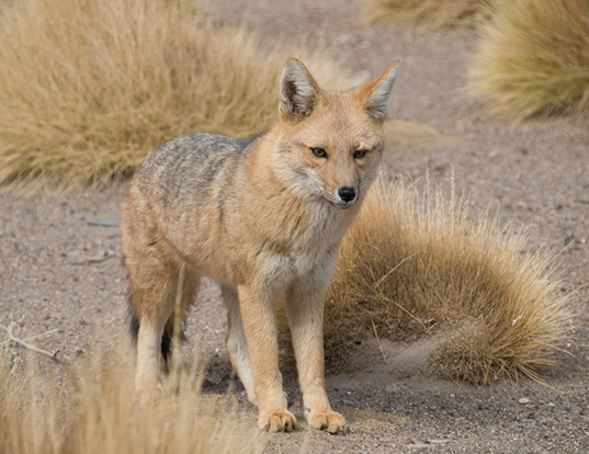 Picture of a pampas fox (Pseudalopex gymnocercus)