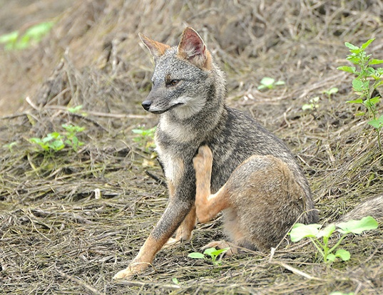 Picture of a sechuran fox (Pseudalopex sechurae)