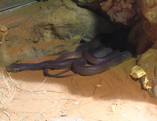 Picture of a king brown or mulga snake (Pseudechis australis)